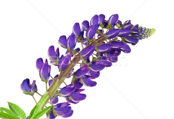 Fiore blu isolato bianco bouquet blu fiore Foto d'archivio © vtorous