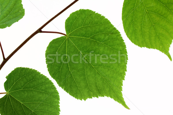 Linden leaf isolated Stock photo © vtorous