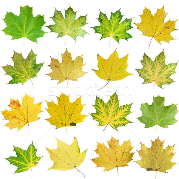 őszi levelek izolált fehér természet zöld csoport Stock fotó © vtorous