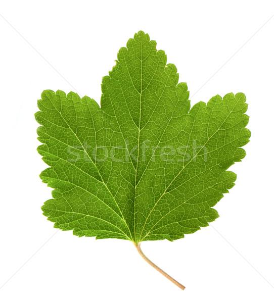 Frenk üzümü yaprak yalıtılmış beyaz arka plan yeşil Stok fotoğraf © vtorous