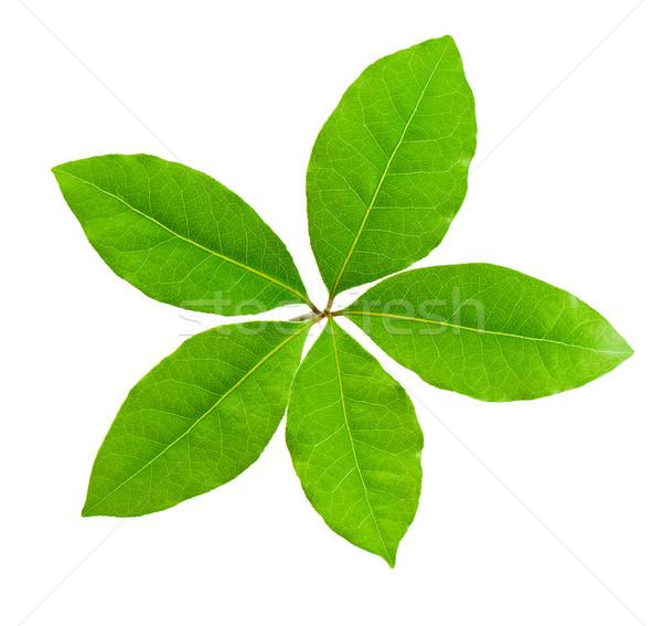 Laurel leaf Stock photo © vtorous