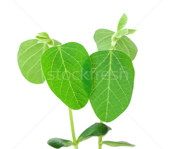 Soy plant Stock photo © vtorous