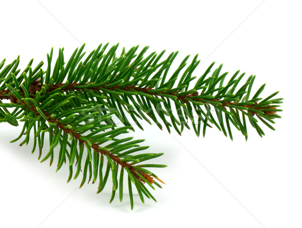 Pine branch Stock photo © vtorous