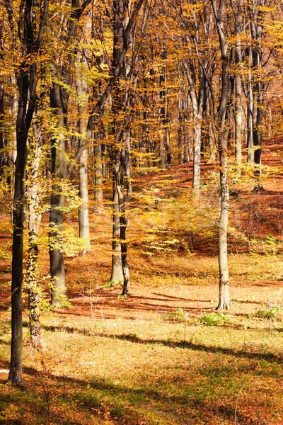 Autumn beech forest Stock photo © vtorous
