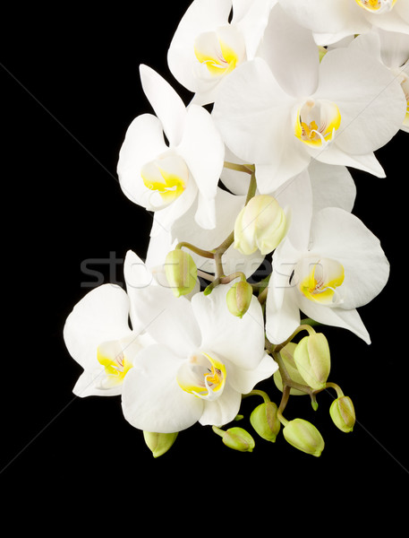 White orchid Stock photo © vtorous