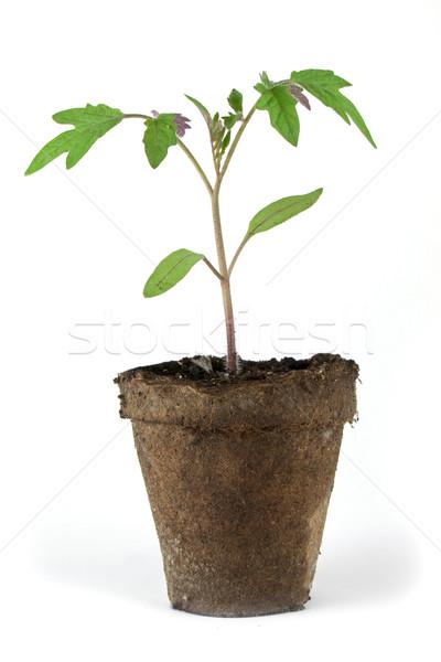 Small tomato plant Stock photo © vtorous