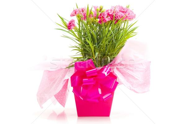 Nelke Geschenk Haufen schönen rosa Blume Stock foto © vtupinamba