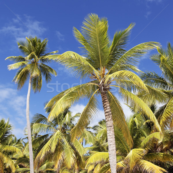 palm trees Stock photo © vwalakte