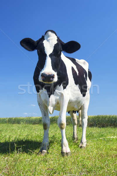 cow in the green grass Stock photo © vwalakte