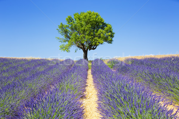 lavender fields with tree Stock photo © vwalakte