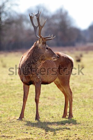 red deer stag in forest landscape Stock photo © vwalakte