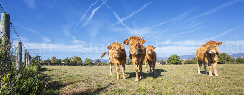 Panoramic view of brown cows Stock photo © vwalakte