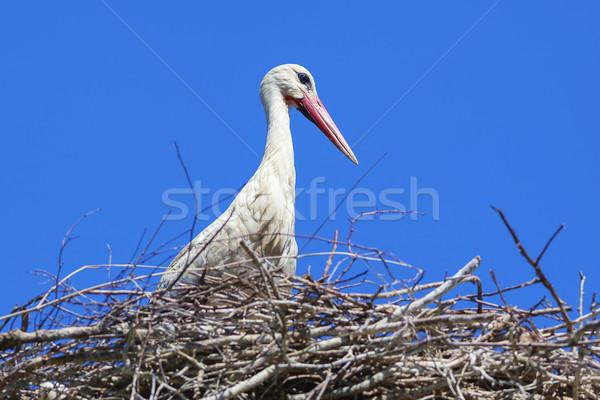 Storch Nest blauer Himmel Baum Natur Vogel Stock foto © vwalakte