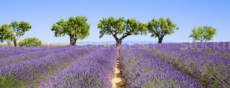 lavender fields of the French Provence Stock photo © vwalakte