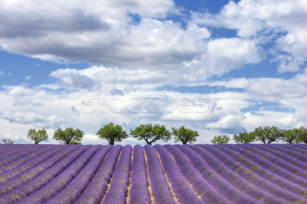 Horizontal view of lavender field Stock photo © vwalakte