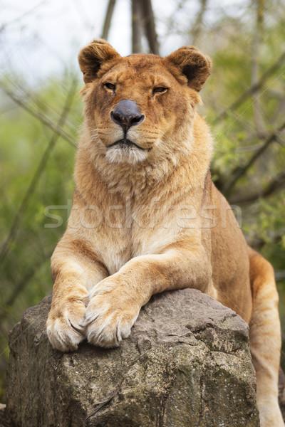 Сток-фото: портрет · рок · лев · женщины · африканских · млекопитающее