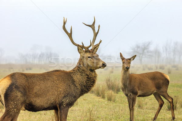 Stock photo: Deer and doe
