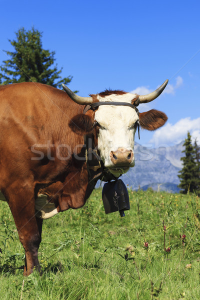 Beautiful cow in french alps Stock photo © vwalakte