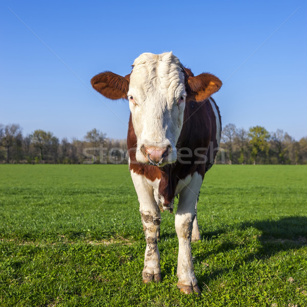 White and brown cow on green grass Stock photo © vwalakte