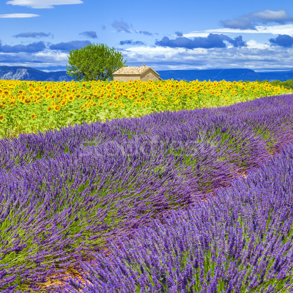 Lavender and sunflower field Stock photo © vwalakte