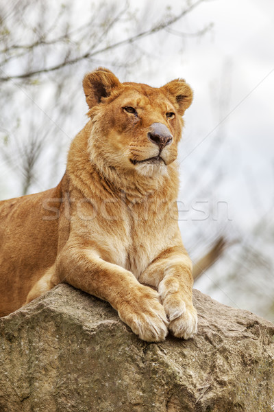 Lioness Stock photo © vwalakte