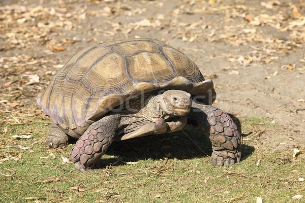 гигант черепаха ходьбе земле глазах природы Сток-фото © vwalakte