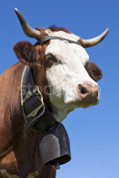 Portrait of alpine cow Stock photo © vwalakte