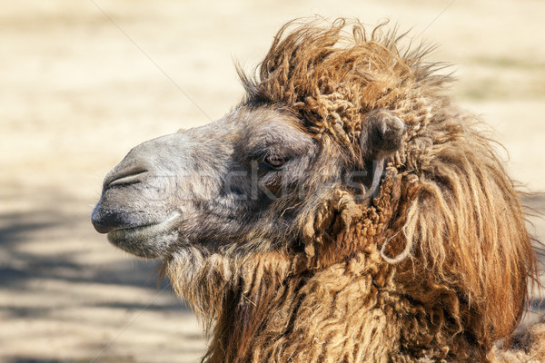 Stock photo: Head of a camel