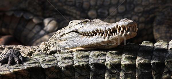 panoramic crocodile Stock photo © vwalakte