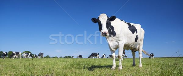 Stock photo: Panoramic view of black and white cow