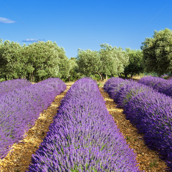 Lavender field Stock photo © vwalakte