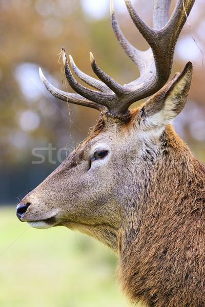 Portre geyik orman manzara gökyüzü alan Stok fotoğraf © vwalakte