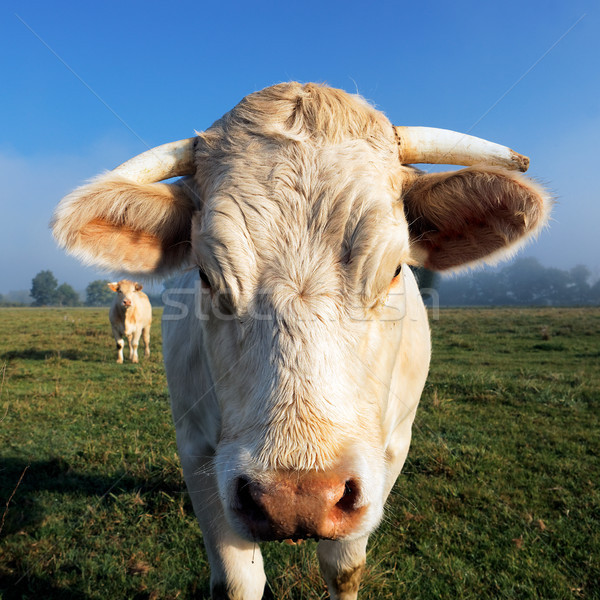 white cow in the morning light Stock photo © vwalakte