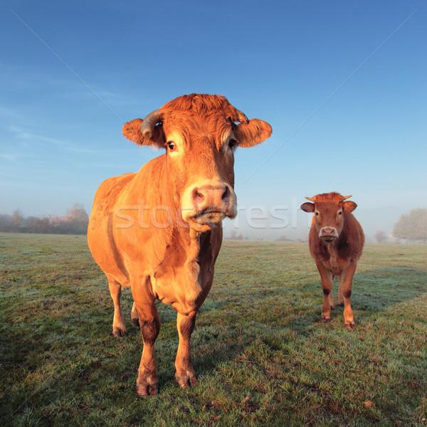 cow and calf Stock photo © vwalakte
