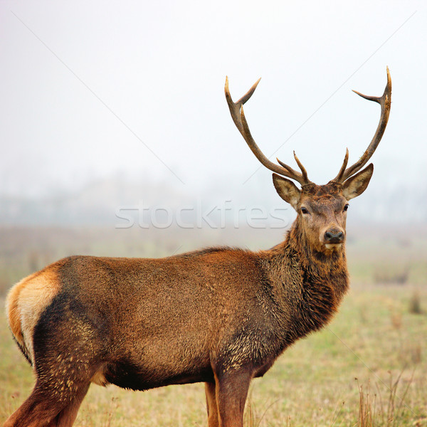 red deer stag Stock photo © vwalakte