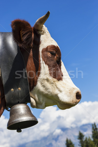 Brown cow in alpine mountain Stock photo © vwalakte