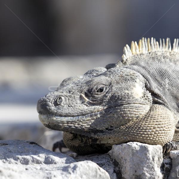 iguana square Stock photo © vwalakte