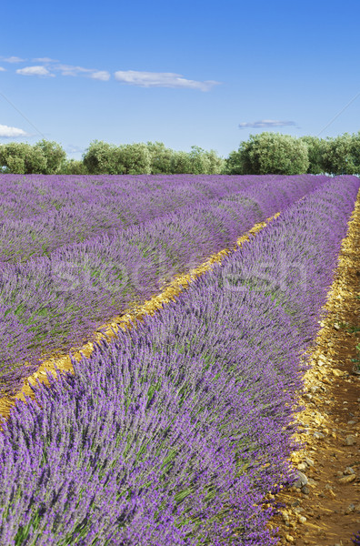 Lavender field with blue sky Stock photo © vwalakte