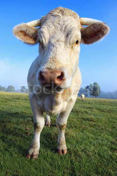 herd of young white cow Stock photo © vwalakte