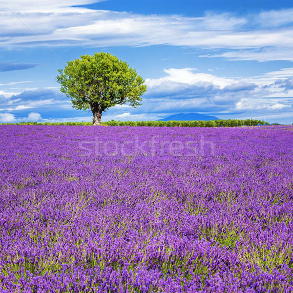 Lavender field with tree Stock photo © vwalakte