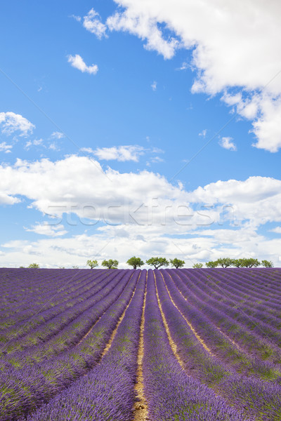 Lavender field with trees in Provence Stock photo © vwalakte