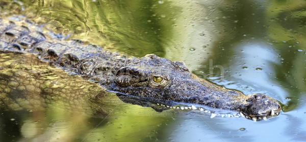 swimming crocodile Stock photo © vwalakte