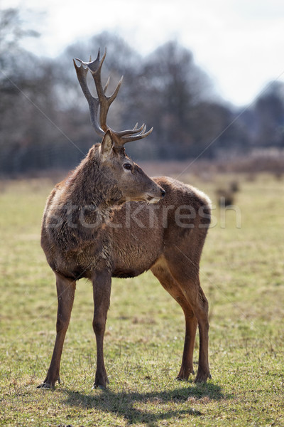 wild deer in autumn Stock photo © vwalakte