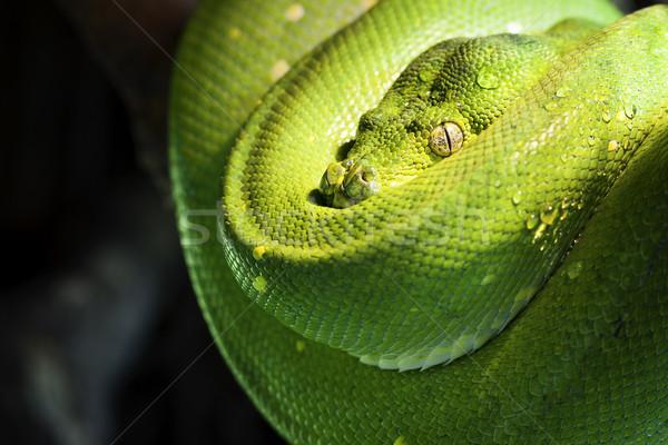 Groene boom python dierentuin groene tropische schaal Stockfoto © vwalakte