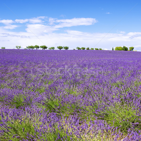 View of Lavender field with trees in Provence Stock photo © vwalakte