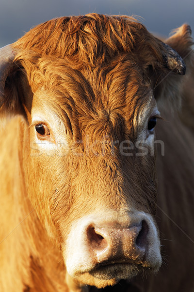head shot of brown cow Stock photo © vwalakte