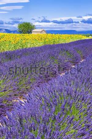Lavender field in Provence  Stock photo © vwalakte