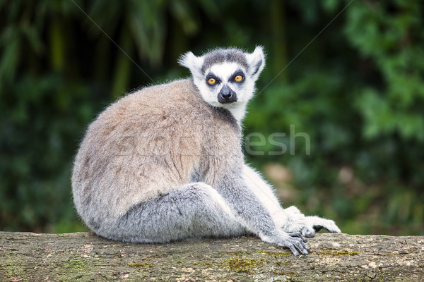 ring-tailed lemur in forest Stock photo © vwalakte