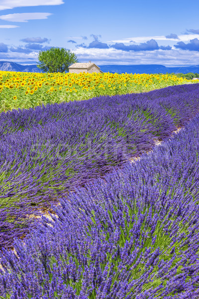Belo paisagem girassol campo de lavanda França flor Foto stock © vwalakte