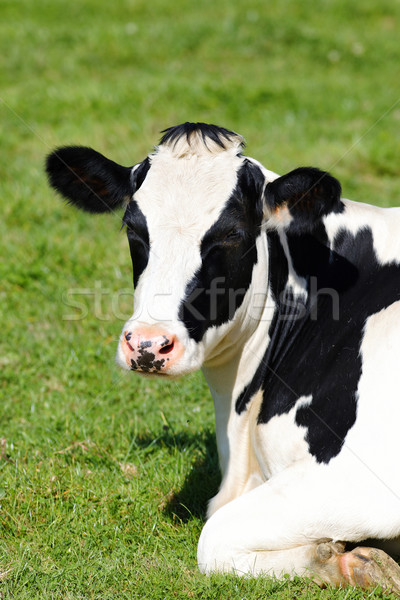 Black and white cow lying down on green grass Stock photo © vwalakte